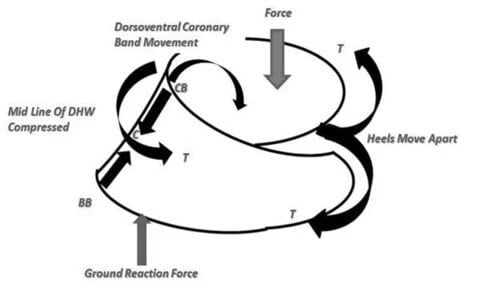 A diagrammatic representation of the dorsolateral view of the hoof
