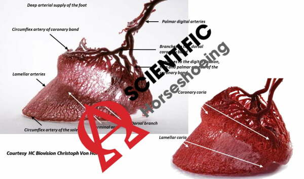Innovación arterial del pie