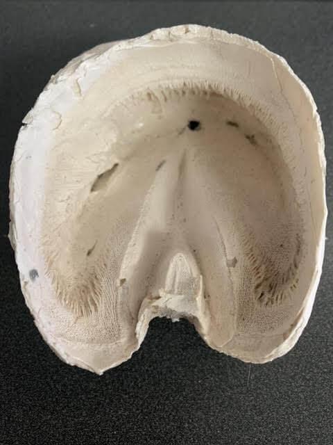 Chris Pollitt a fondé la capsule de sabot avec l'os de la pédale pathologique