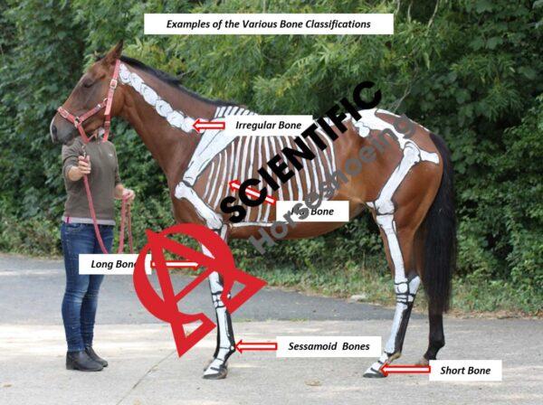 Классификация кости