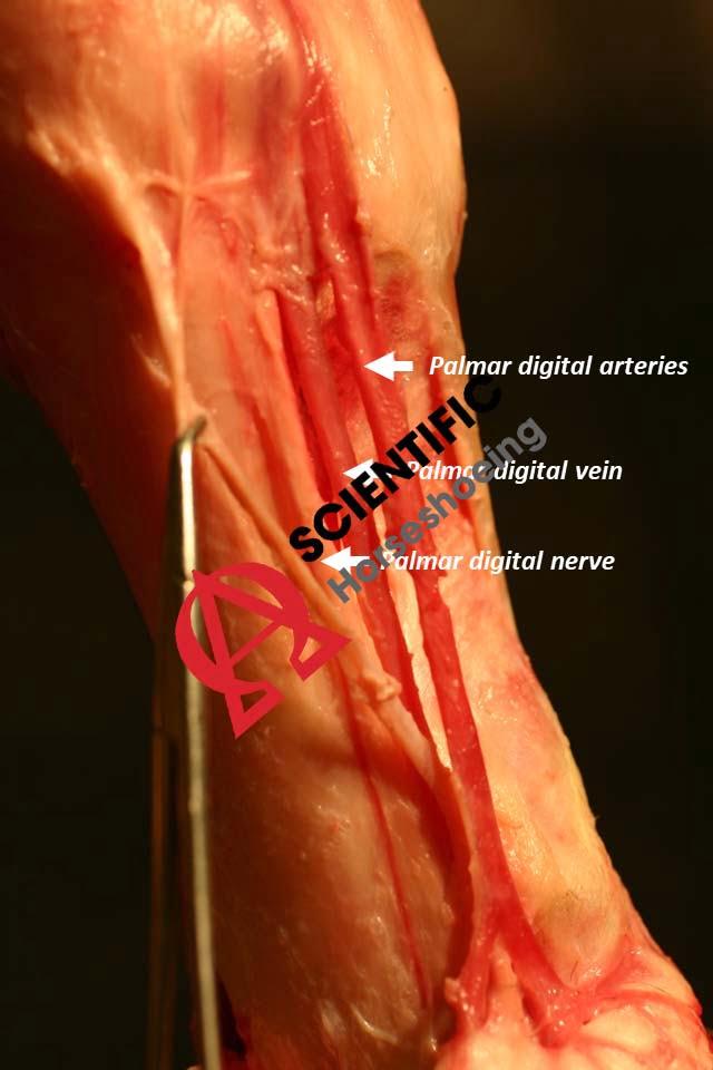 Innovación de la extremidad distal 1