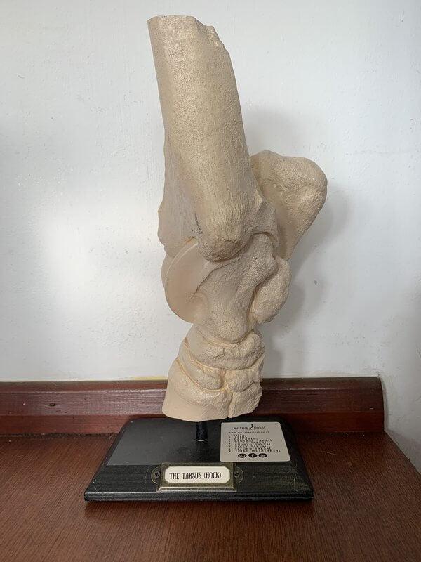 Движущаяся лошадь: Тарус (скакательный сустав)