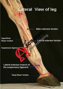 Tendons Of The Fore Limb