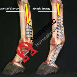 Kinetic Energy Of The Lower Limb