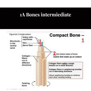 1A Bones intermiediate