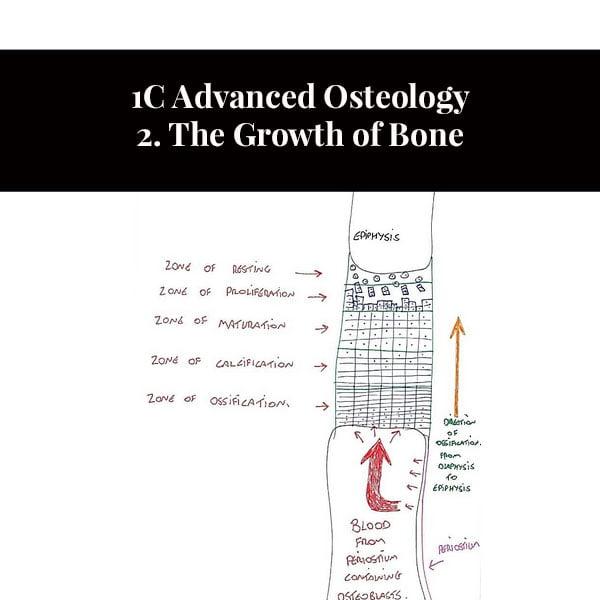 1C Advanced Osteology 2. A csont növekedése