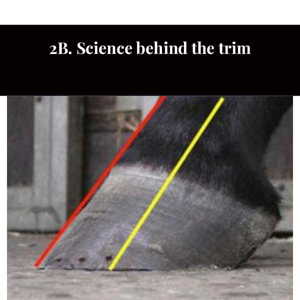 2C. The Equine Foot and Physiological Trimming