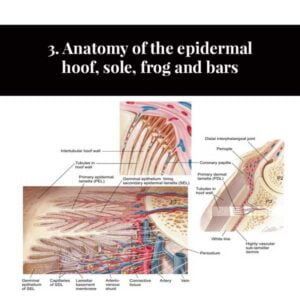 3. Anatomy of the epidermal hoof, sole, frog and bars