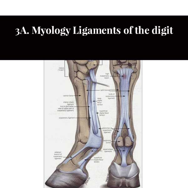 3A. Myology Ligaments of the digit
