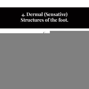 4. Structures cutanées (sensibles) du pied.