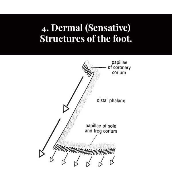 4. Estruturas dérmicas (sensitivas) do pé.