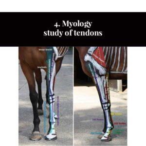 4. Étude de la myologie des tendons