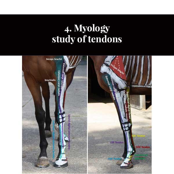 4. Estudo de miologia de tendões