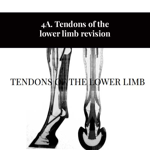 4A. Révision des tendons du membre inférieur