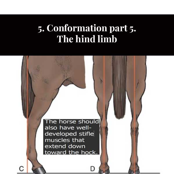 5. Conformación de la parte 5. La extremidad trasera