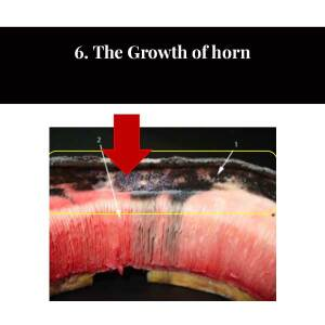 6 The Growth of Horn