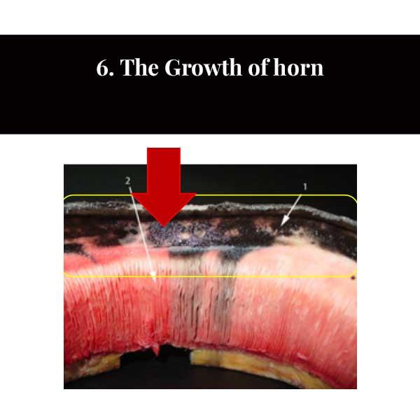 6 La croissance de la corne