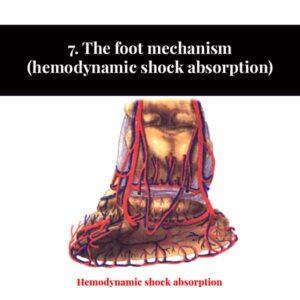 7. The foot mechanism (hemodynamic shock absorption)