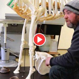 The-Equine-Skeleton-Thoracic-Limb-Video